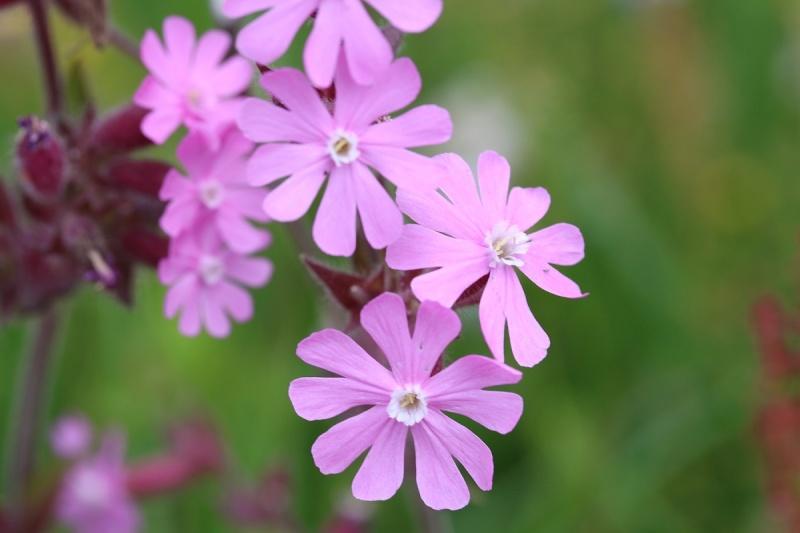 Flore des Vosges Img_3614