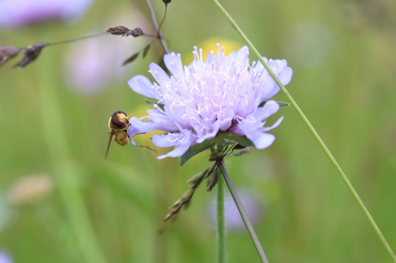 Flore des Vosges Img_3617