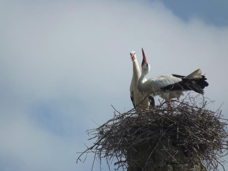 cigogne blanche dans une reserve protégé Dscf0914
