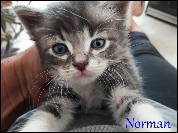 NORMAN chaton à l'adoption 18745310