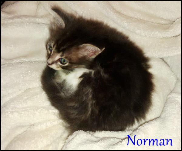NORMAN chaton à l'adoption 18838310