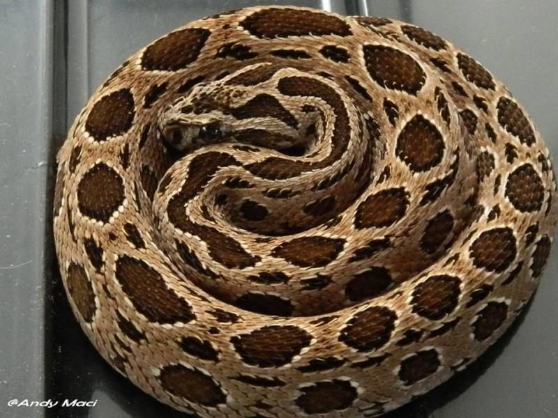 Couple Daboia russelii siamensis CB 2013 96028510