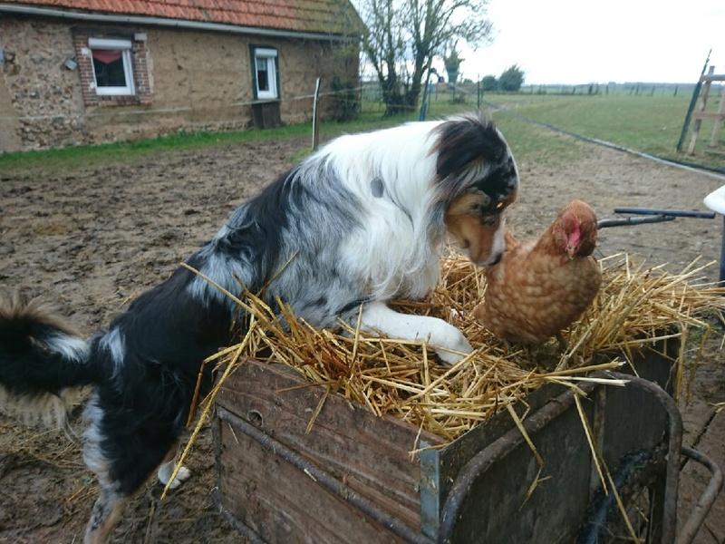 mon gros voyou et ces poules Fev_1711