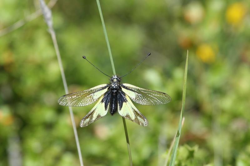 [résolu]Ascalaphus libelluloides (Schäffer 1763), Nevroptère 2016-010