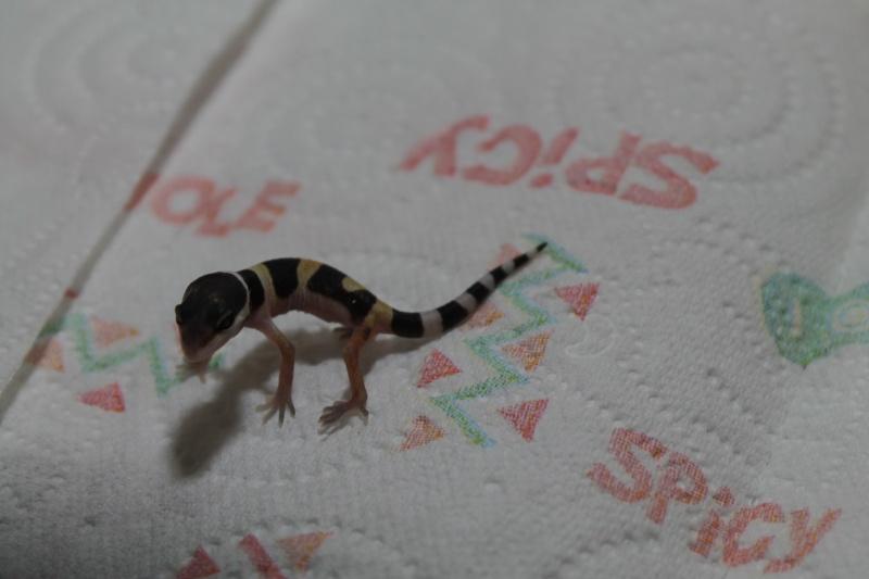 naissance gecko leopard Img_1416