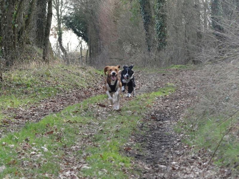 IGLO - beagle mâle 4 ans (Asso GALIA 86) Dsc04511