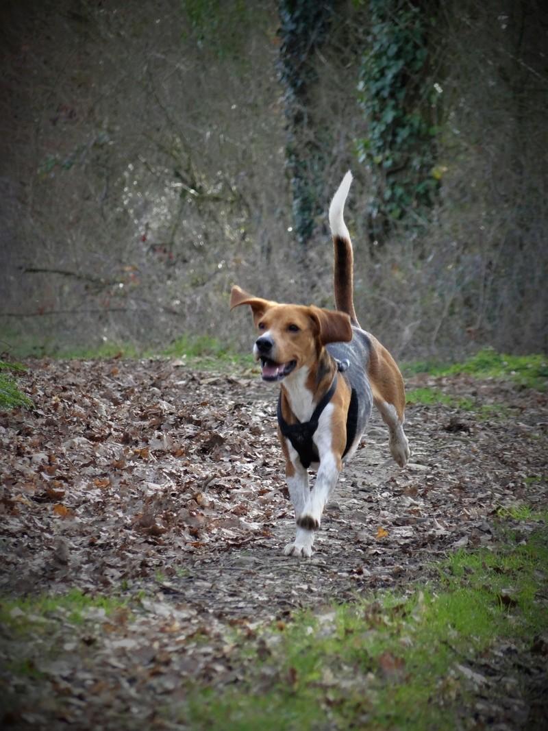IGLO - beagle mâle 4 ans (Asso GALIA 86) Dsc04518