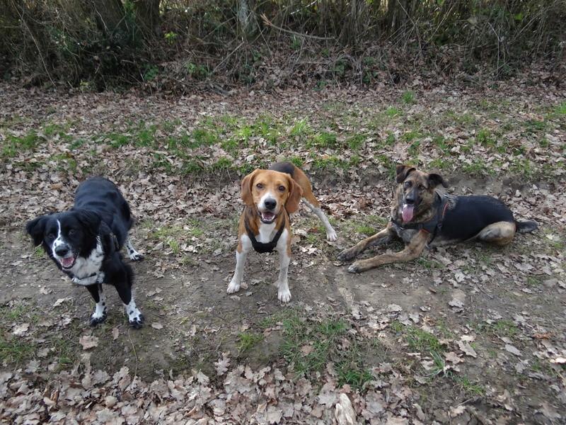 IGLO - beagle mâle 4 ans (Asso GALIA 86) Dsc04522
