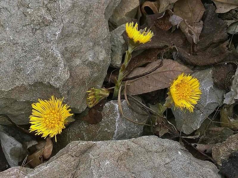 Erste Frühlingsboten im Garten und in Wald und Flur - Seite 48 Huflat13