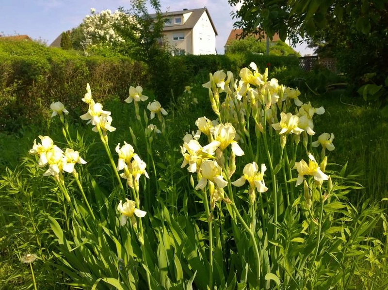 Schwertliliengewächse: Iris, Tigrida, Ixia, Sparaxis, Crocus, Freesia, Montbretie u.v.m. - Seite 16 Iris10