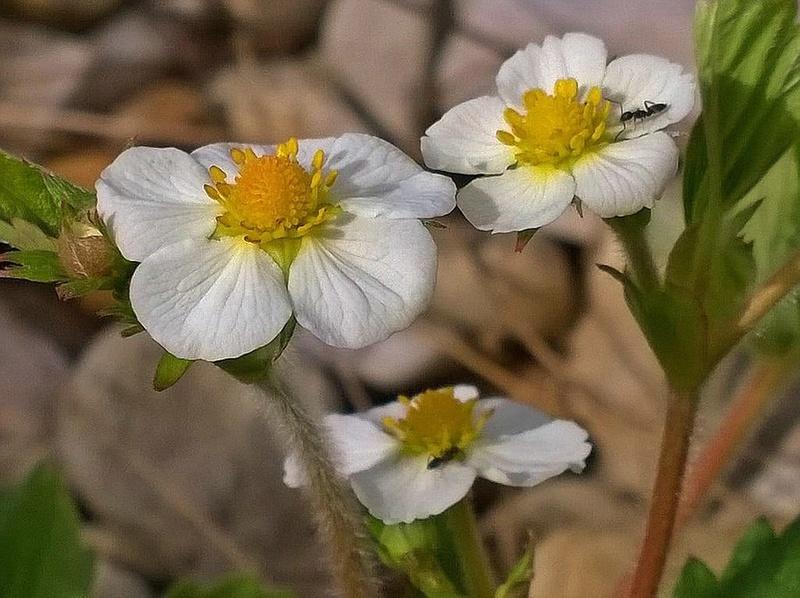 Erste Frühlingsboten im Garten und in Wald und Flur - Seite 51 Walder10