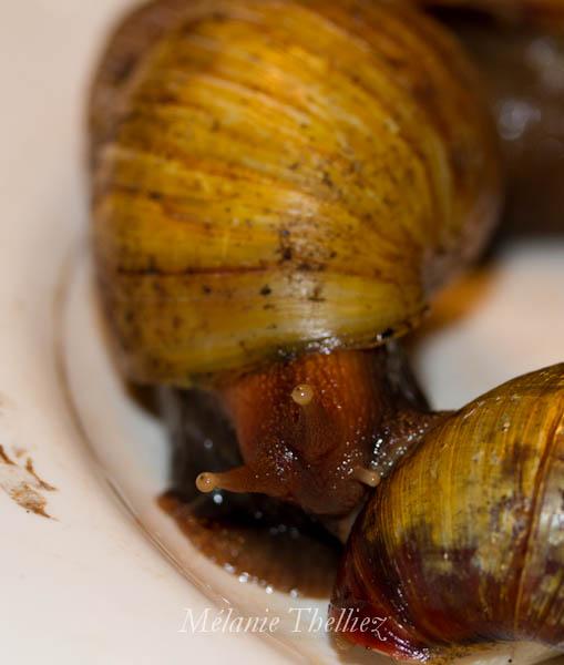 Achatina Fulica adultes et bébés Img_2914