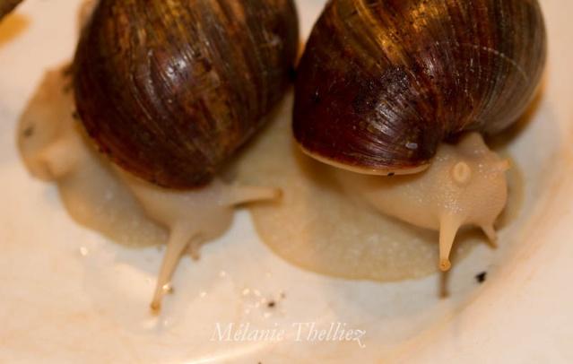 Achatina Fulica adultes et bébés Img_2918