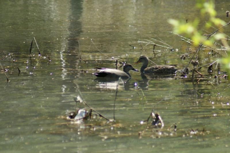 Canards noirs? Parc_d22