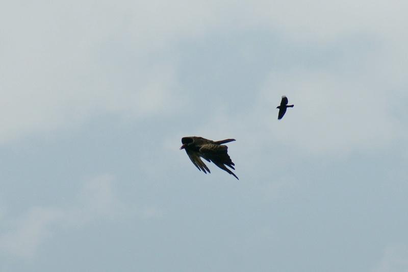 Quel oiseau pourchasse cet Urubu? Parc_d36