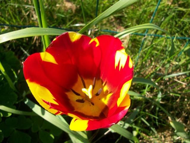 tulipes 2017 Photo182