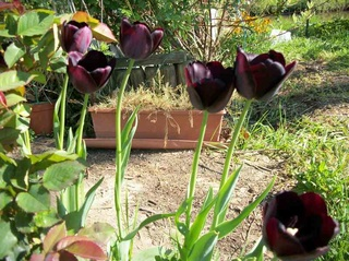 tulipes 2017 Photo186