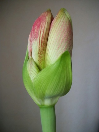 amaryllis - Page 6 Photo343