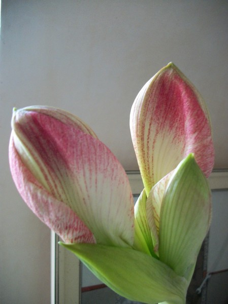 amaryllis - Page 6 Photo344