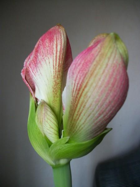 amaryllis - Page 6 Photo345