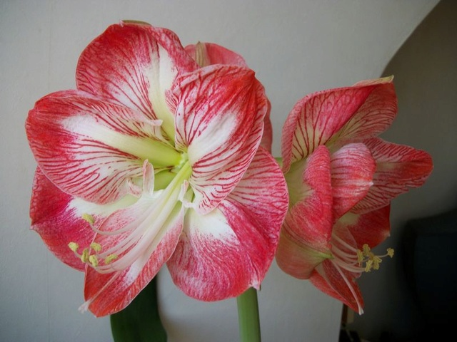 amaryllis - Page 6 Photo381
