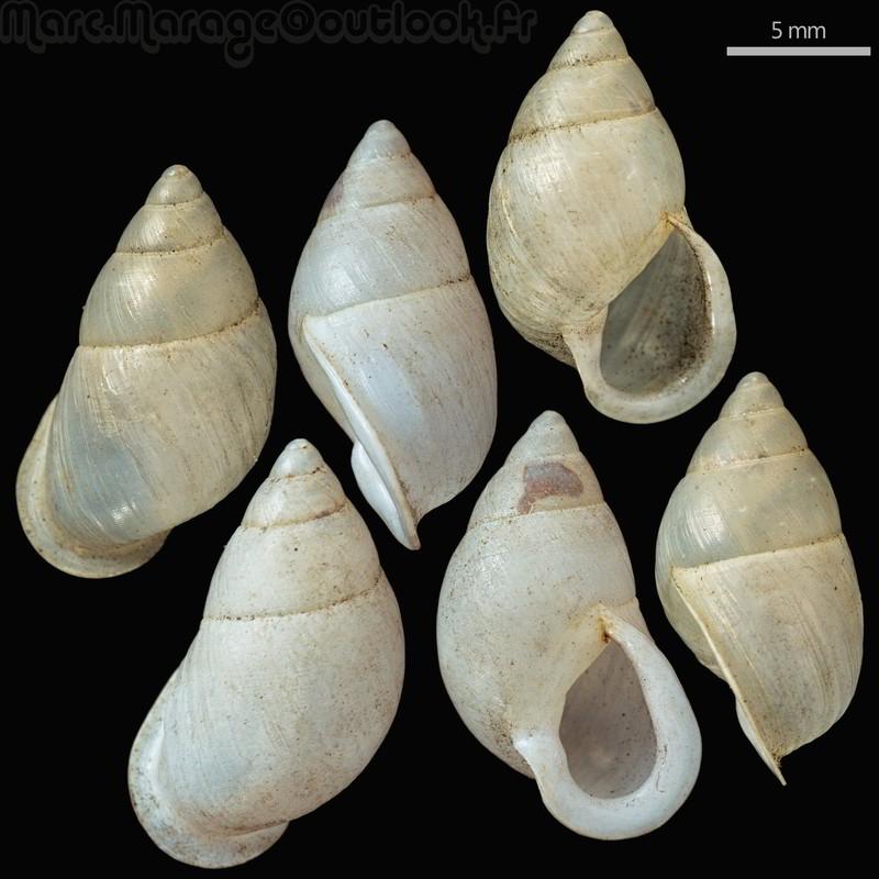 Partula hyalina (Broderip, 1832) Dm_par10