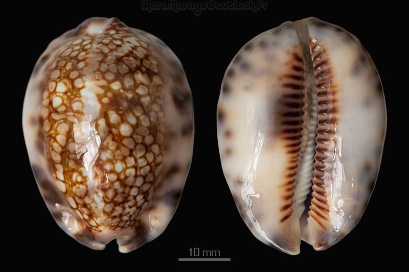 Conus_textilinus_var._aquariumensis Maurit10