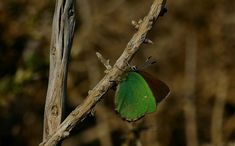 Thécla de la ronce, ce beau vert ! P1390010