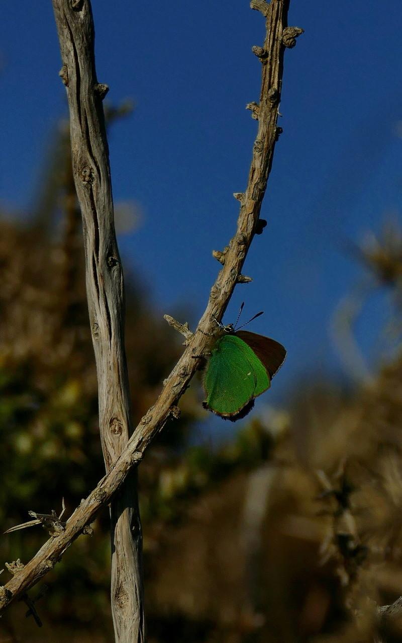 Thécla de la ronce, ce beau vert ! P1390011