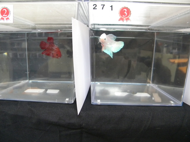 APRES Swiss Betta Show, Cernier, 2017, résultats, photos... P410