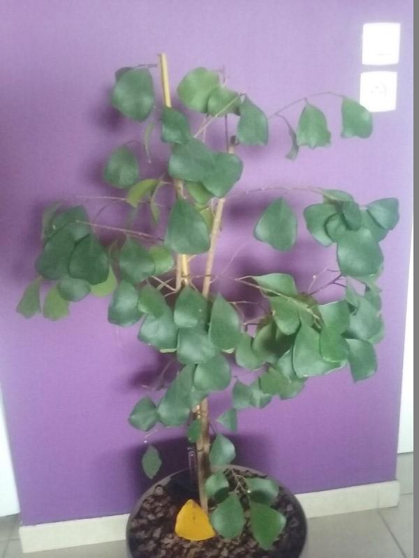 Ficus deltoidea Cassia11