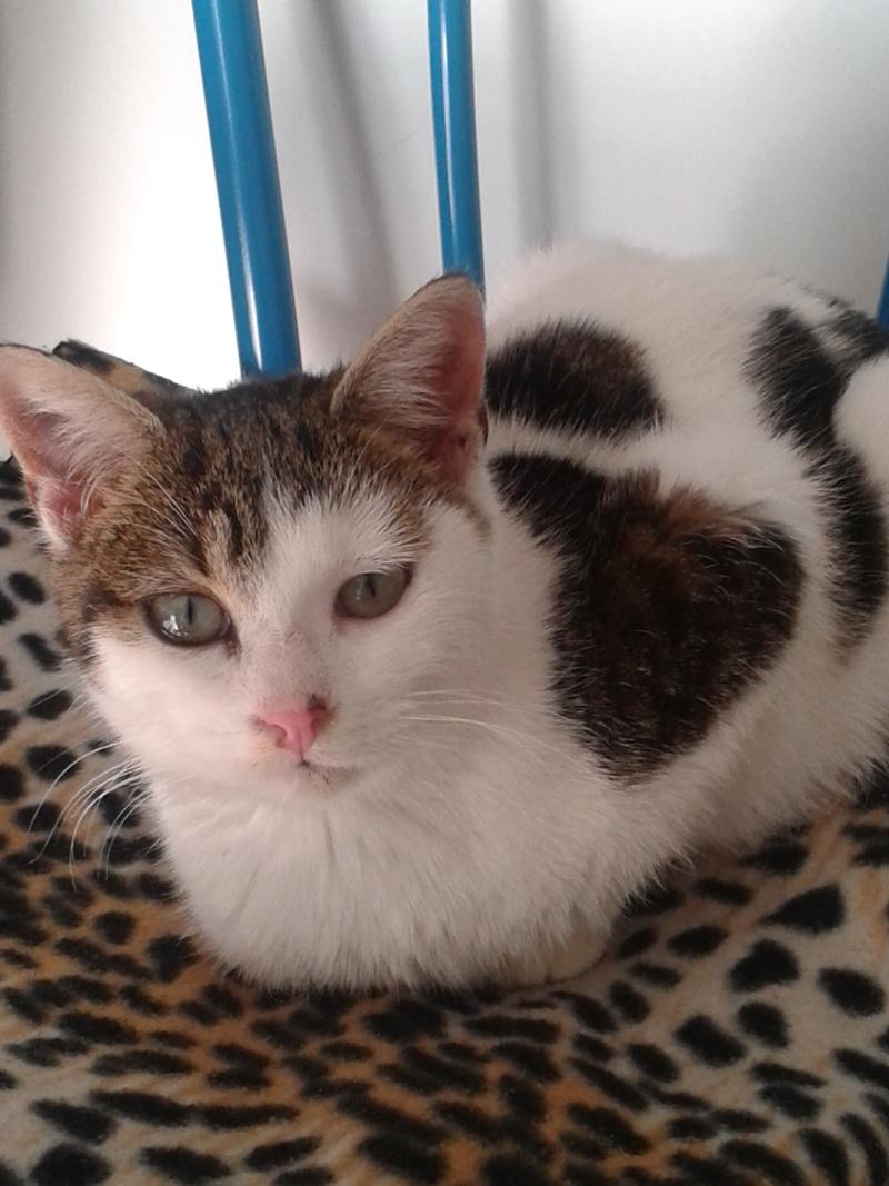 Trouvé chat blanc et marron/gris à Pibrac 20131110