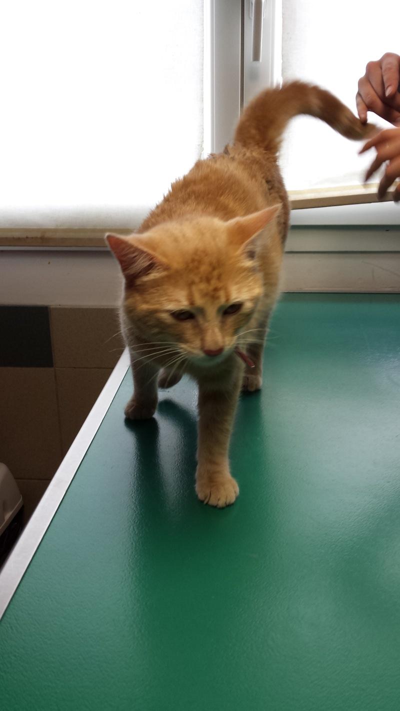 Trouvé chat roux à Colomiers 20140511