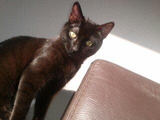 Perdu chat noir à Castanet Tolosan Habs10