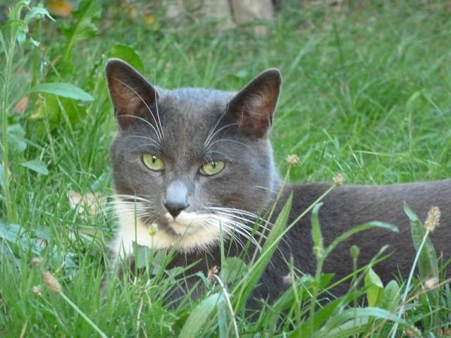 Perdu chat gris et blanc à Tournefeuille Jerry10