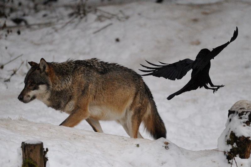 Pétition loup en Isère Bracon10