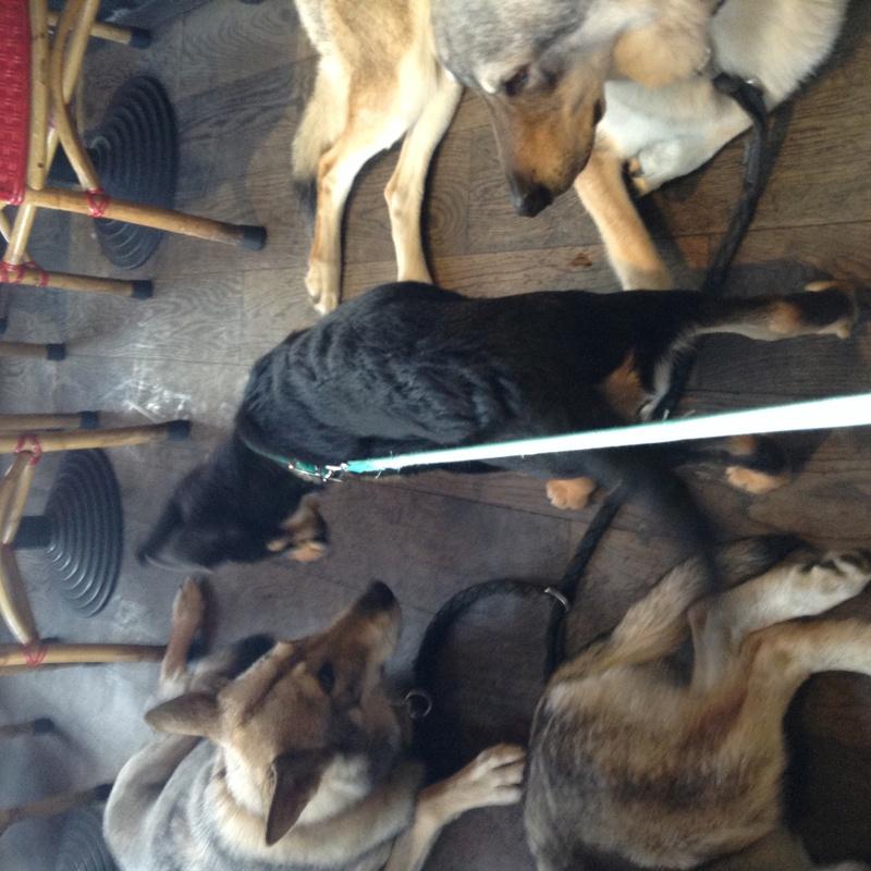 TOKYO, beauceron x chien loup de tchecoslovaquie x berger blanc suisse - Page 13 Img_0111