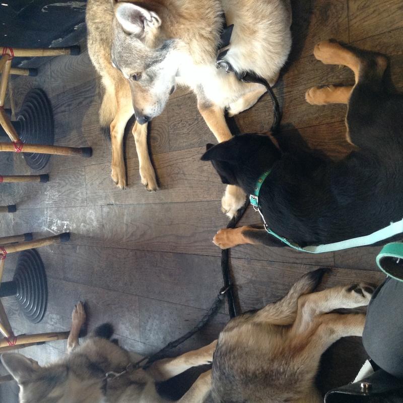 TOKYO, beauceron x chien loup de tchecoslovaquie x berger blanc suisse - Page 13 Img_0214