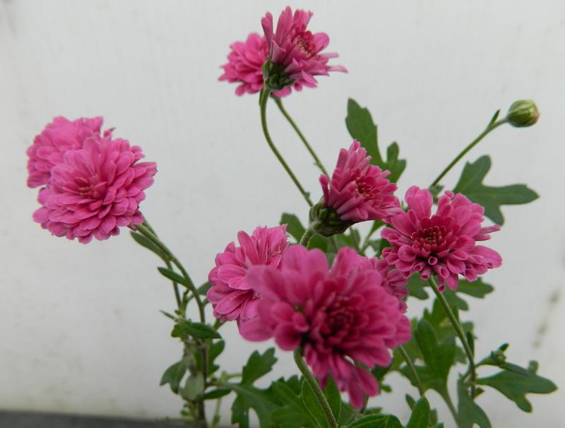 Mes Satsuki- Mes Fleurs - Page 15 Chryna10