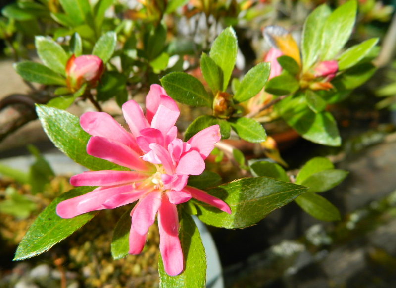 Mes Satsuki- Mes Fleurs - Page 15 Hanabi10