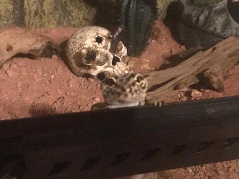 """Ma """"geckotte"""" léopard  Image10"""