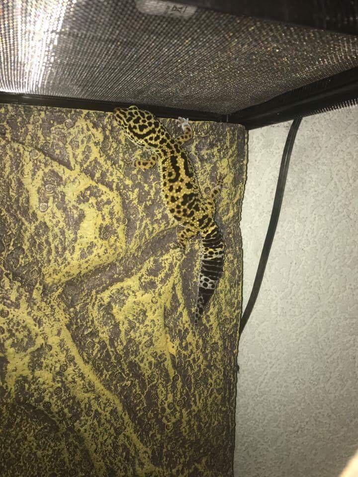 """Ma """"geckotte"""" léopard  Image12"""