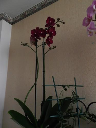 Nouveau phalaenopsis : bordeaux Dscn3913