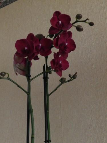 Nouveau phalaenopsis : bordeaux Dscn3914