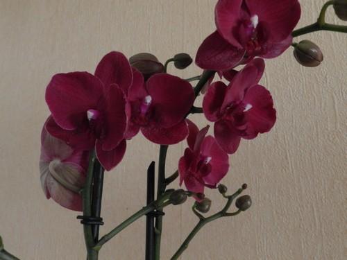 Nouveau phalaenopsis : bordeaux Dscn3915