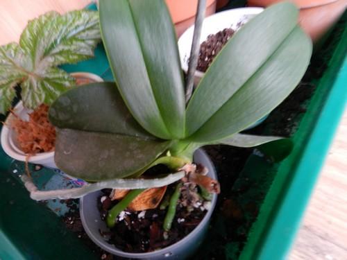 mini Phalaenopsis...opération sauvetage - Page 4 Dscn3916