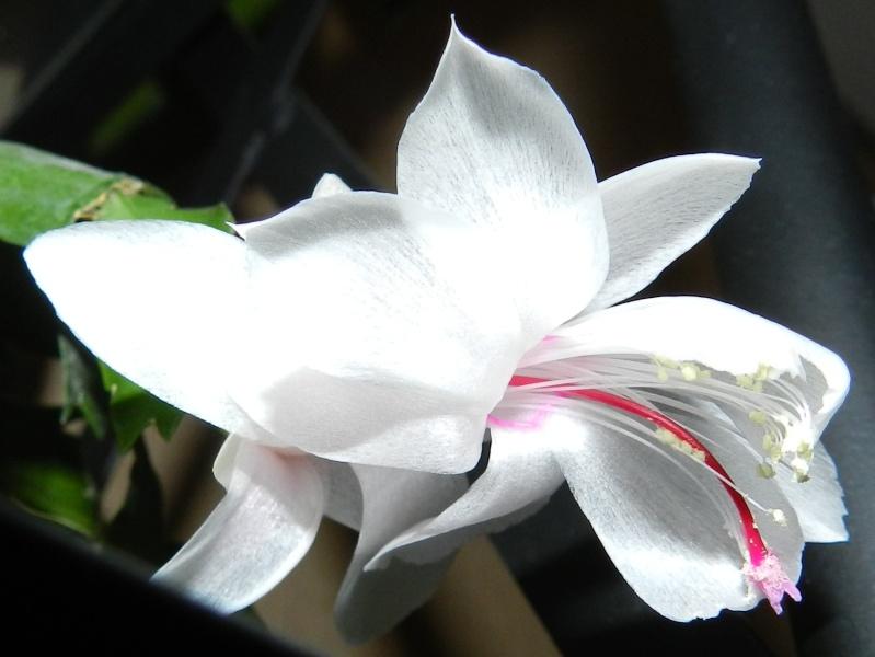 floraison schlumbergera Dscn4013