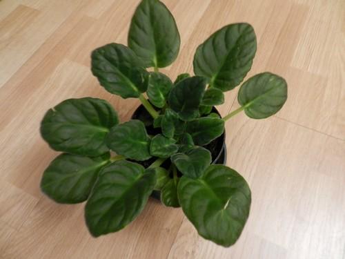 Saintpaulia défleuri Dscn4210