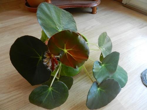 bégo erythrophylla : mon petit nénuphar! Dscn4616