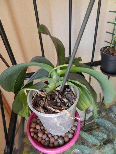 Comment diriger la hampe d'un phalaenopsis? Dscn4617